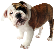 Image of a bulldog puppy.